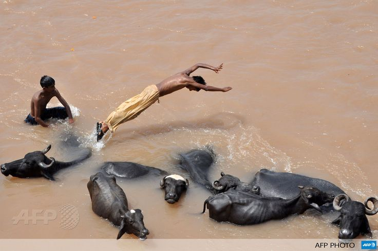 INDIA, Jammu: An Indian nomad herder leaps off the back of a water buffalo into the flooded waters of the River Tawi on the outskirts of Jammu on August 23, 2013. Hot and humid weather conditions are prevailing across the northern state of Jammu and Kashmir with humidity levels reaching some 85 percent and temperatures soaring to 35 degrees Centigrade. AFP PHOTO