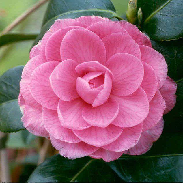Camellia Flower Line Drawing : Camellia alabama state flower i pink pinterest