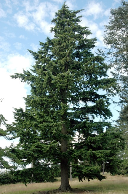 Western Hemlock (Tsuga heterophylla) The inner bark was ...