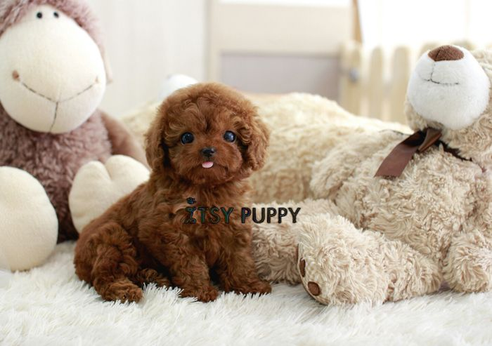 SOLD**Bruno - Teacup Poodle Male - ITSY PUPPY: Teacup puppies for sale in CA   Micro and Teacup Maltese Pomeranian Yorkie Poodle Puppies from California