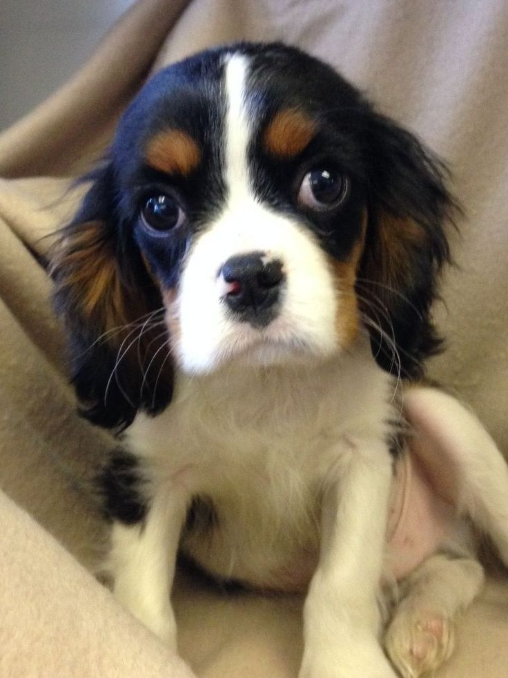 Cavalier-King-Charles-Spaniel-Rescue-Puppies-Picture