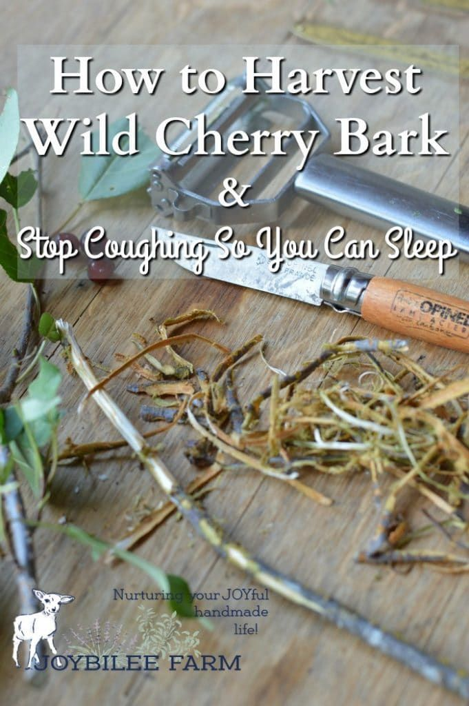 Wild cherry bark is an effective herbal remedy to stop coughing.  It is easy to make at home from wild harvested cherry bark or from wild cherry bark found at the health food store.  A cup of wild cherry bark tea suppresses dry, unproductive coughing so you can get the rest you need to allow your body to heal.