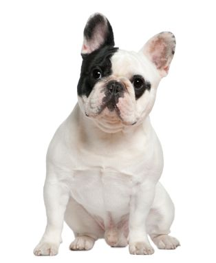 probably the best breed ever. Nick will allow a frenchie... someday. When Leroy Brown kicks the bucket.