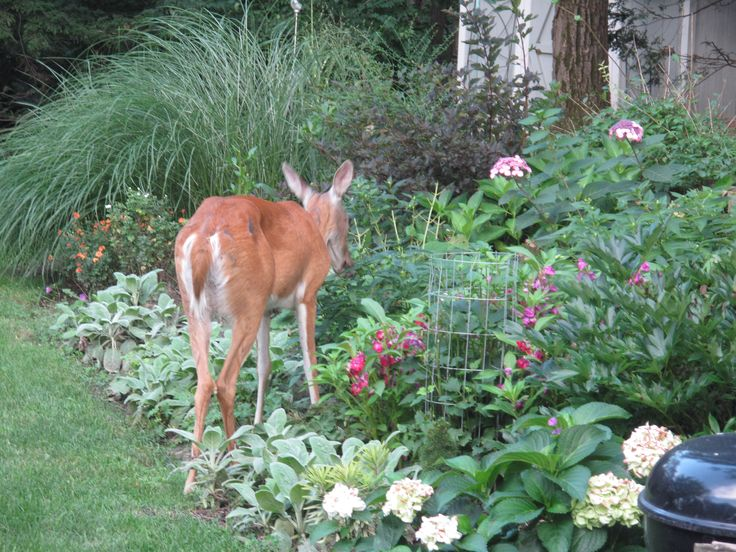 Top 25 ideas about Keeping Deer Out of Garden on Pinterest