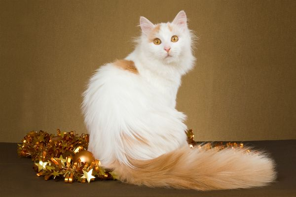 Turkish Van.............5 Purebred Cat Breeds I'd Have a Hard Time Saying No To - Catster