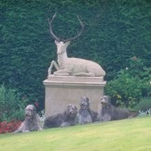 Scottish Deerhounds posed in front of a statue of a deer.