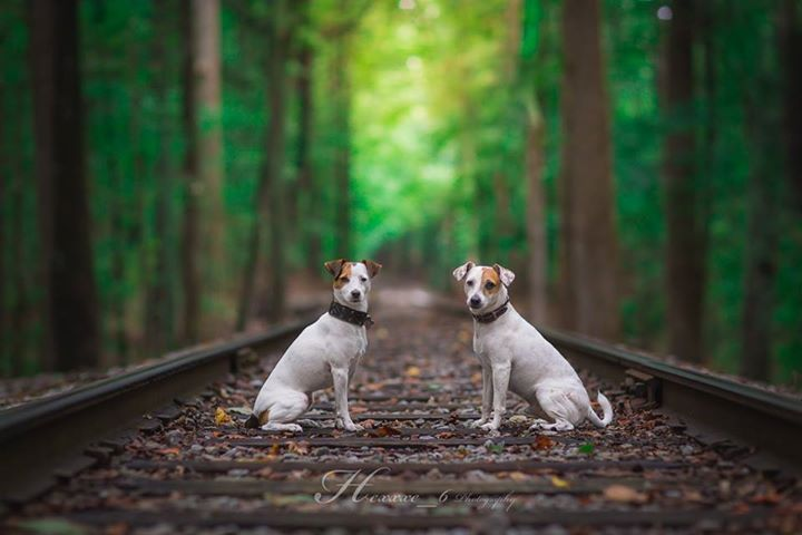 Jack Russell Terrier Isis Maria S. and Chad #dogs #jackrussell #parsonrussell #terrier #woods #railroad #heavenly #pet #photography