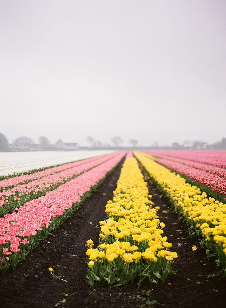The Netherlands Tulip Fields The Dutch