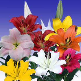 #Asiatic #Lilies are great for celebrations or decorations. Their long lifespan and majestic look makes the a great influence of positive vibes.     http://globalrose.com/flowers/asiatic-lilies-assorted-40-stems-24-28.html