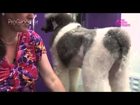 How to groom a standard poodle. Some good tips for grooming Penny although not entirely a fan of this poodle cut