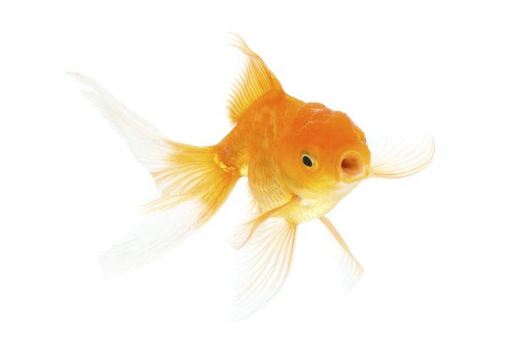 Een goudvis kun je gerust wat insecten voeren: muggenlarven, maden, kleine vliegjes, spinnetjes  Ook groenten en fruit is gezond en vinden ze lekker. Een evenwichtige voeding zorgt ervoor dat je goudvissen in een betere conditie blijven.  Doorgesneden erwtjes, botersla, spinazie, courgette, worteltjes, appels, druiven, knoflook, gekookte rijst, broccoli, boontjes, maïs