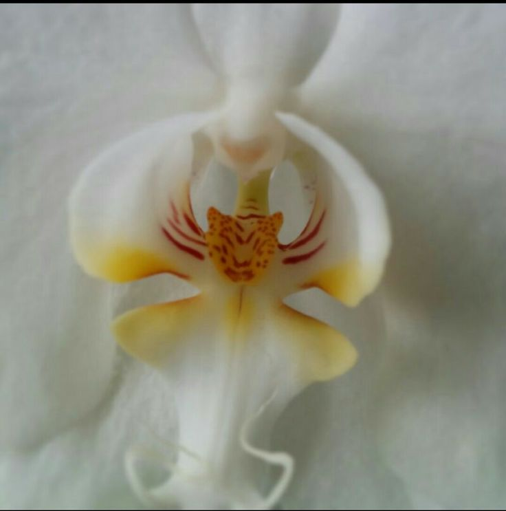 tiger in orchid