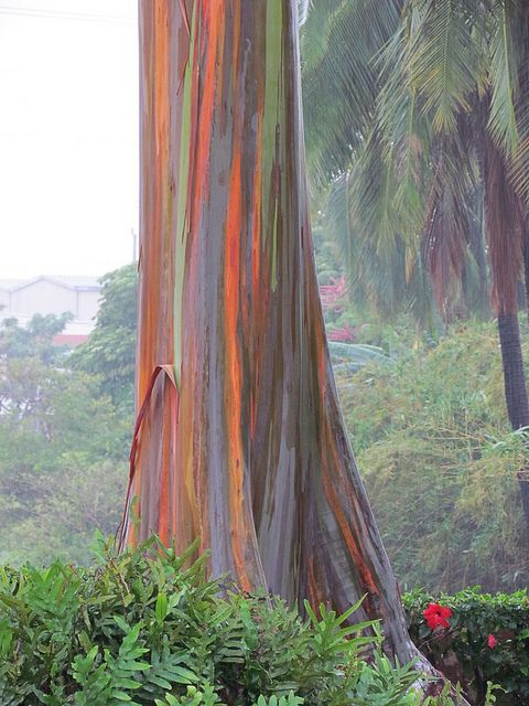 Rainbow Gum Tree (Eucalyptus). There is one like this at the San Diego Zoo.