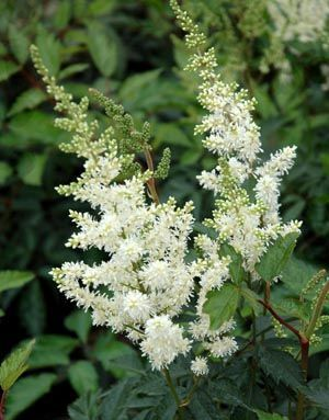 Shade plant. Astilbe Arendsil 'brautschleier' (Bridal Veil) Small white flowers in feathery clusters.