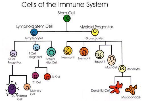 Cells of the immune system(2) immune system | Tumblr