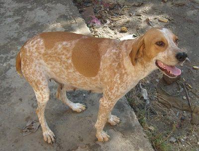 Tarsus Catalburun | DİŞİ TARSUS ÇATALBURUN AV KÖPEĞİ, Av köpekleri, satılık ...