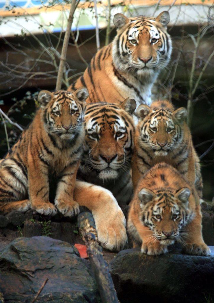 Tiger Family Creative Life Animals Beautiful Cats
