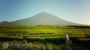 tea-plantation_kerinci-mount_south-sumatra_sumatran-trails-001