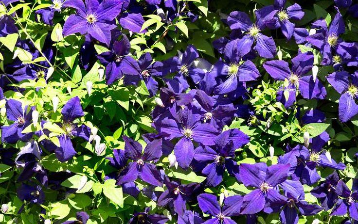 Den mörkt blåvioletta 'The President' är en klematis som blommar hela sommaren.