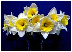 Planning to move my daffodils: how to store bulbs for fall planting