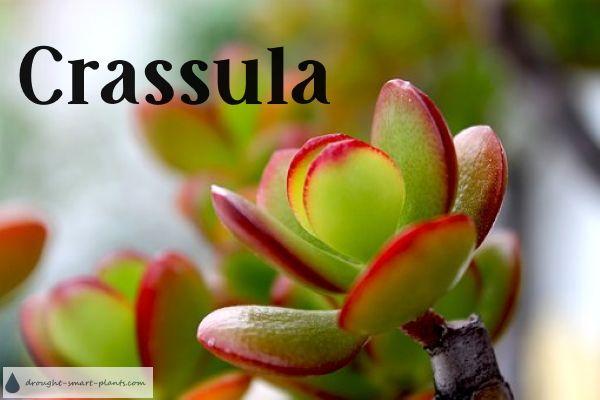 Crassula Unique Textures And Forms Plants Crassula Ovata Jade Plants