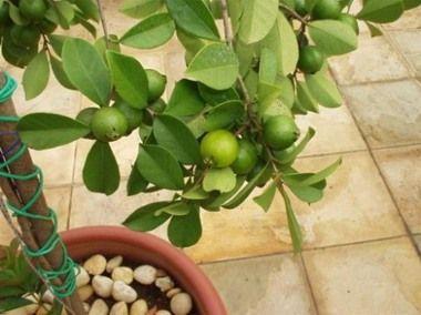 Comprar arboles frutales tamaño pequeño | Árboles frutales para macetas, fragantes y ornamentales
