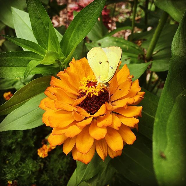 I haven't been able to show a video of my cutting garden yet as we've had two much needed days of rain. To flood IG with rays of beauty, here is an incredible picture of a Clouded Sulphur butterfly enjoying some nectar from one of my many zinnias. Isn't it  beautiful? #butterfly #cloudedsulphur #zinnias #zinnia #fridaybestday #freshflowers #naturelover #naturalbeauty #zinniaandbutterfly #isntitlovely #gardeningjoy #gardenofbeauty #hobbyfarm Natural Beauty from BEAUT.E