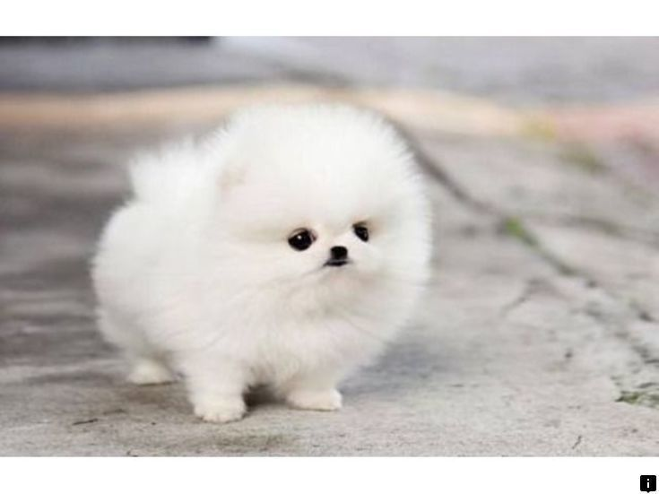 Read More About Puppy Toys Just Click On The Link For More Information Looking At Our Website I In 2020 Pomeranian Puppy Teacup Cute Puppy Wallpaper Pomeranian Puppy