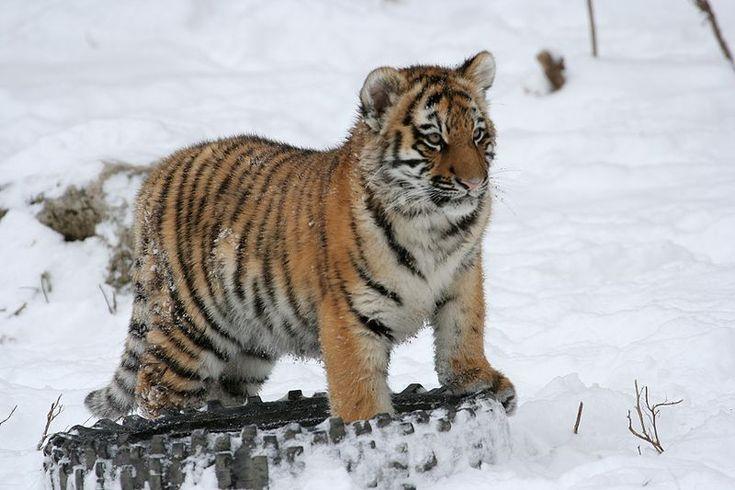 tigris_altaica Амурский тигр (Panthera tigris altaica) –  наиболее крупный из всех известных подвидов тигров и семейства кошачьих вообще. Детеныш амурского тигра в полугодовалом возрасте размером и весом не уступает взрослой особи леопарда. Обитают амурские тигры в России – в Приморском, а также Хабаровском крае. Также небольшие популяции амурского тигра встречаются на территории Китая (на северо-востоке), а также Северной Кореи.