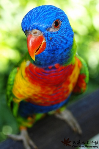 Australian Rainbow Lorikeet ! They are both friendly & Inquisitive..