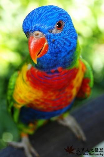 Australian Rainbow Lorikeet #parrots
