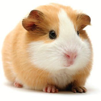 Hamster Breeds and Species Descriptions, Brochures and Pictures