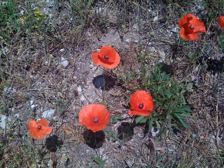 Poppies at Sisteron