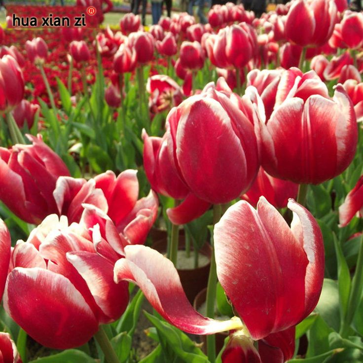 Aroma Tulip Seeds Perfume Flower Bonsai Plants Perennial Red Home Garden 10 Pcs #MyLuckyHouse #Bonsai
