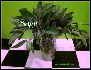 Sage Medicine - wonderful herbal herbal ally. Learn WHY you want to include this powerful herb in more than just your turkey stuffing!