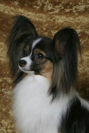 Papillon Tricolor- Looks like my Mr. McKenzie!!