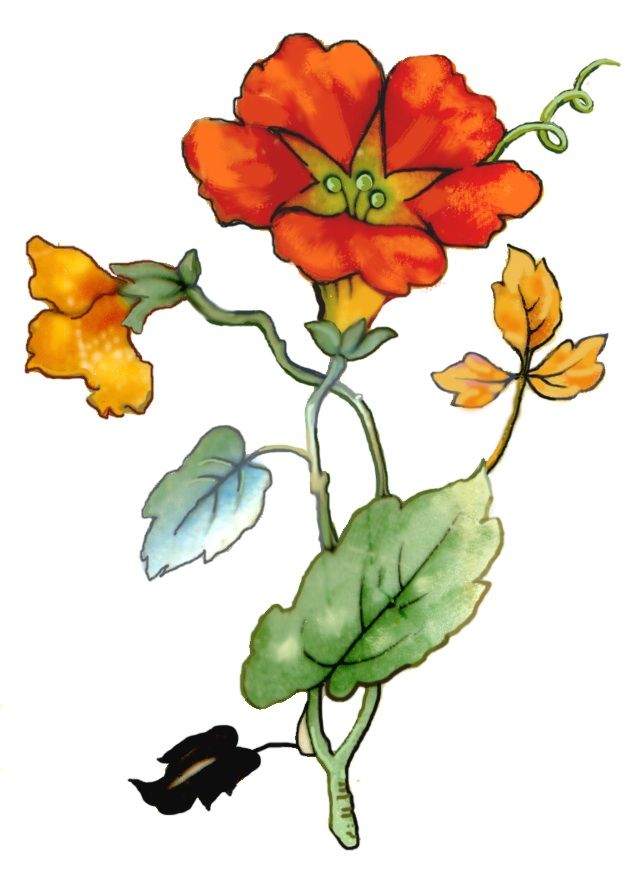 Scanned from a gorgeous vintage plate w/orange nasturtiums