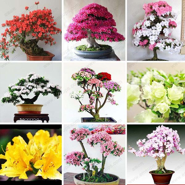 2017 /Bag Rare Bonsai 12 Varieties Azalea Seeds Diy Home & Garden Plants Looks Like Sakura Japanese Cherry Blooms Flower Seeds From Jonemark2013, $10.52 | Dhgate.Com