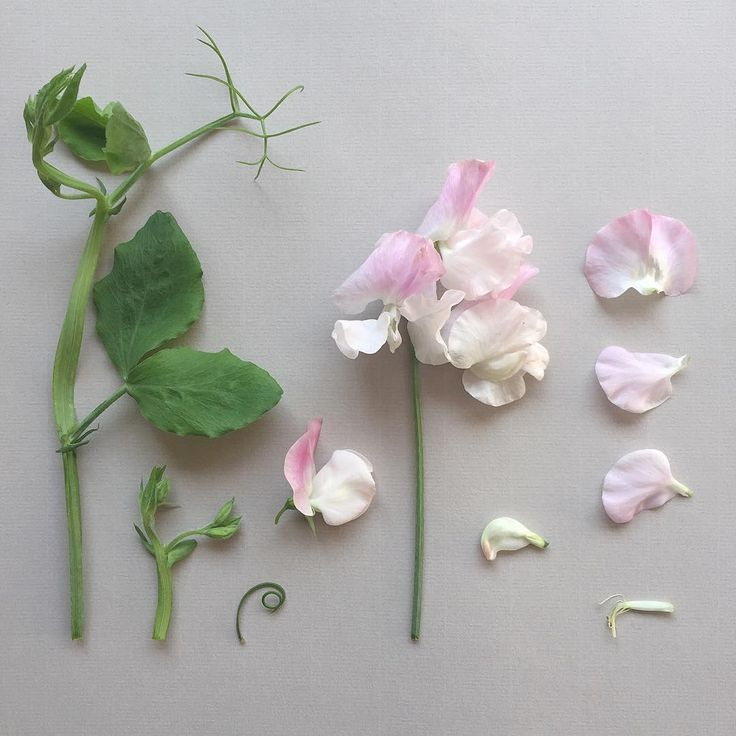 L A T H Y R U S . odoratus deconstructed. These I think are one of the most nostalgic of flowers.The scent of these early Sweet Peas reminds me of winter in Zimbabwe, the sweet perfume of the flowers mixed with the dry smell of dust. Where does the scent of Sweet Peas transport you to? #sweetpeas #lathyrusodoratus #zimbabwe #dust #botanicalstudy #botanicaldeonstruction @theperfumesociety #scentsafari