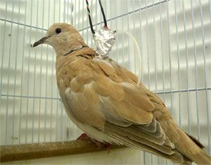 Egypt.  African Collared Dove