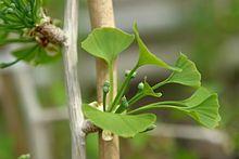 Jinan dvoulaločný (Ginkgo biloba)