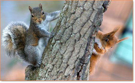 Lo scoiattolo grigio contro lo scoiattolo rosso