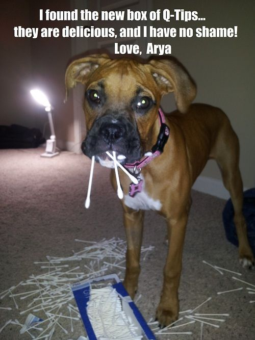 Never trust a Boxer puppy enough to leave her by herself.
