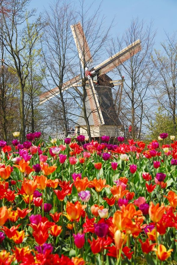 Picturesque #Netherlands #windmill http://www.travelandtransitions.com/european-travel/ http://www.squidoo.com/best-site-to-buy-pinterest-followers