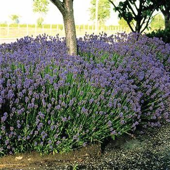 Lavender Hidcote 7cm pot - 5 plants