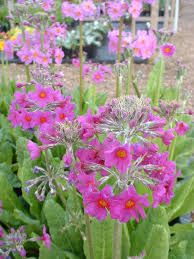 Image result for primula beesiana