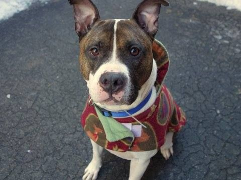 Manhattan Center DYLAN - A1026965 NEUTERED MALE, WHITE / BR BRINDLE, BOXER / PIT BULL, 5 yrs OWNER SUR - EVALUATE, NO HOLD Reason OWN EVICT Intake condition EXAM REQ Intake Date 02/01/2015, https://www.facebook.com/photo.php?fbid=957967984216081