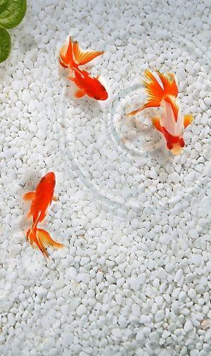 泳ぐ金魚のiPhone壁紙