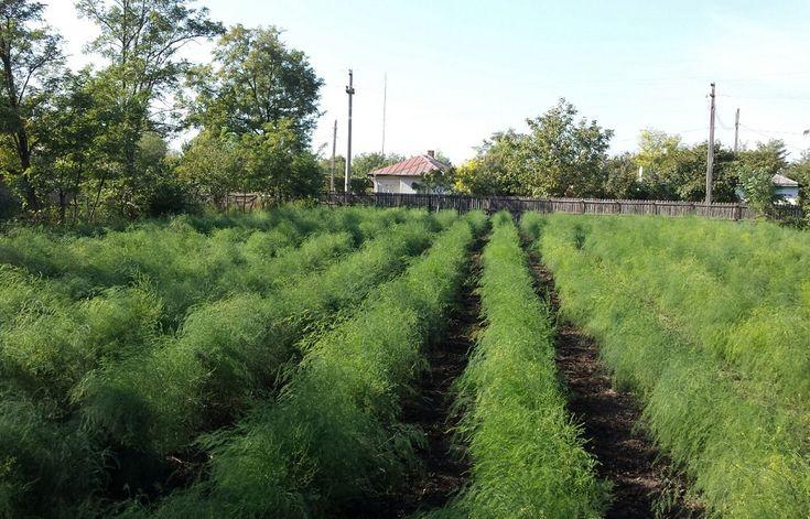 Idei de afaceri: Sparanghelul, cultura ideala pentru fermierii cu suprafete mici | StiriAgricole.ro