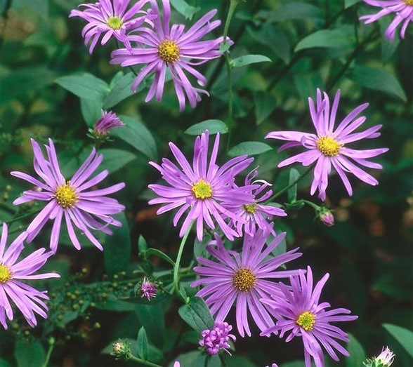 Flower of the Day: Aster; adding to my garden